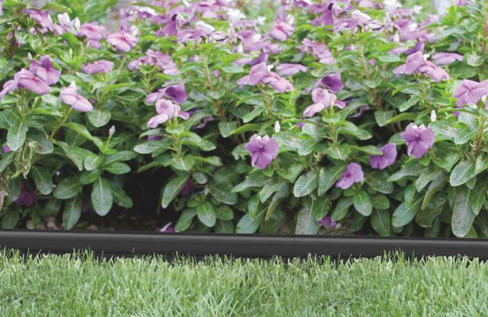 Purple flowers in a flower bed