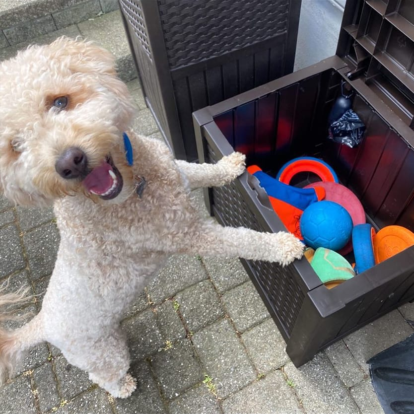 Dog with front paws on an open storage box filled with dog toys